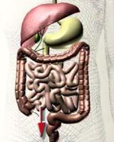 Der Darm – das zweite Gehirn